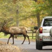 Elk Driving Tours at Peck Ranch